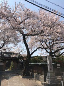 家の近くのお寺の桜